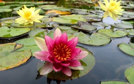 Nice pink water lilly