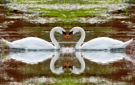 One Pair Of Swans Love The Water