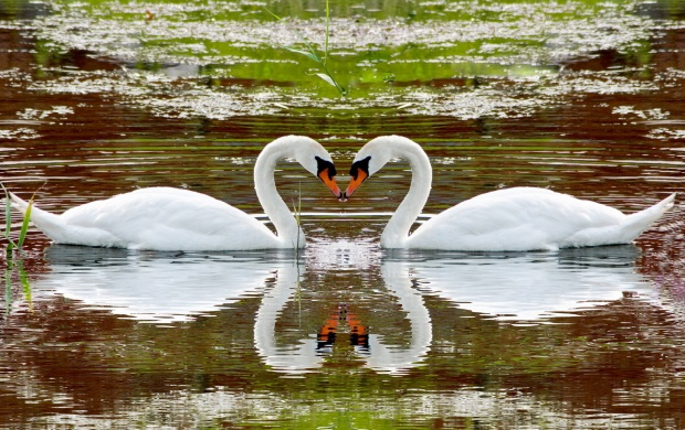 One Pair Of Swans Love The Water (click to view)