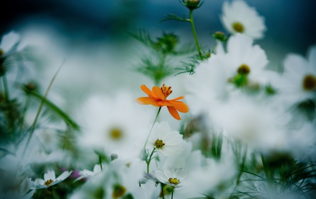 Orange And White Kosmeya Flowers (click to view)