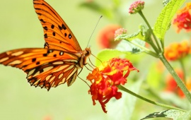 Orange butterfly on a red flower