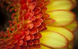 Orange Gerbera Petals Flower