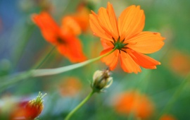 Orange Kosmeya Flowers Background