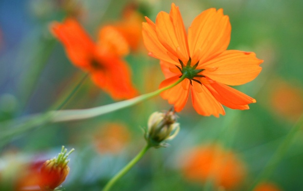Orange Kosmeya Flowers Background (click to view)