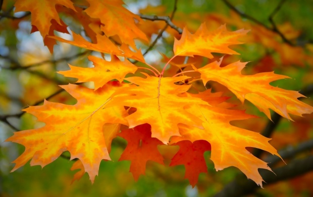 Orange Maple Leaf (click to view)