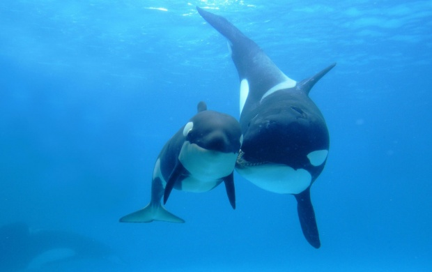 Orca Whale Love (click to view)