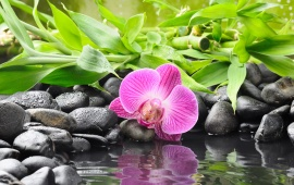 Orchid Flower On Black Pebble