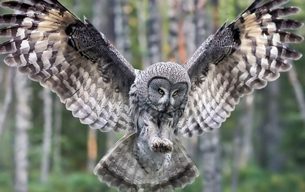 Owl - Forest Birds (click to view)