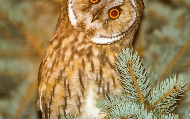 Owl At Spruce Branch (click to view)