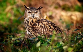Owl In Greens Grass