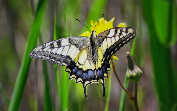 Papilio Machaon Butterfly (click to view)