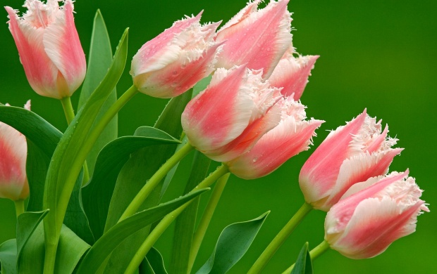 Parrot Tulips (click to view)
