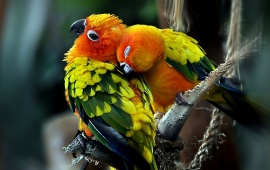 Parrots Couple Love