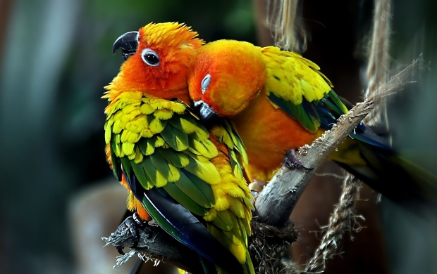 Parrots Couple Love (click to view)