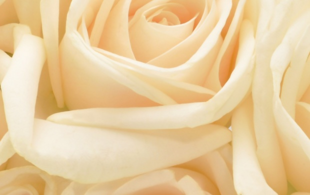 Pastel roses flowers background wallpapers mightylinksfo