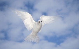 Peace White Dove