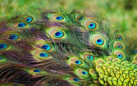 Peacock Color Feathers