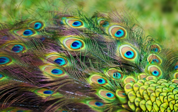 Peacock Color Feathers (click to view)