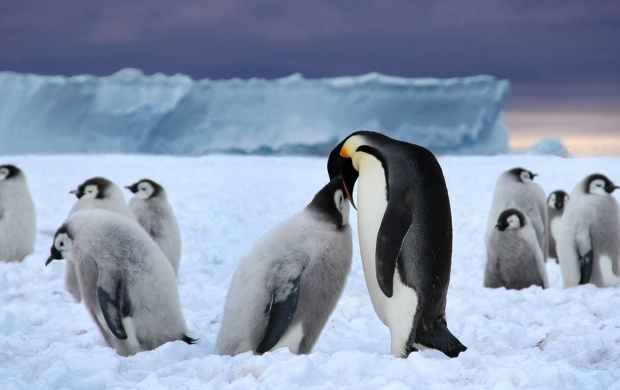 Penguins Ice Snow (click to view)