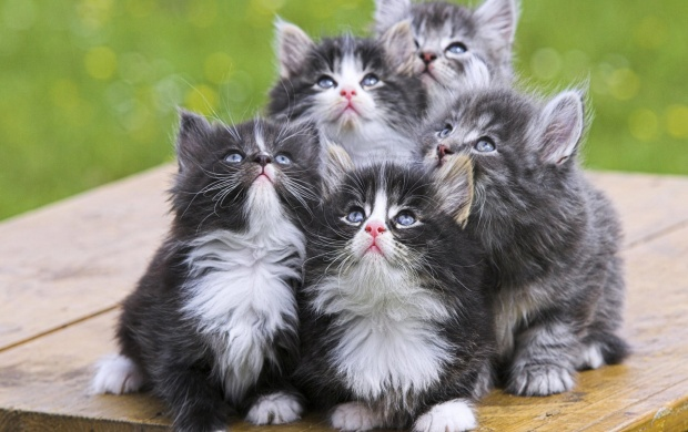 Persian Kittens (click to view)