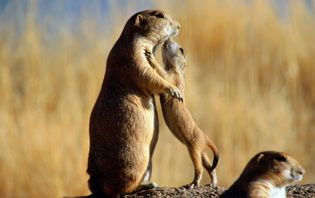 Pet Prairie Dog (click to view)