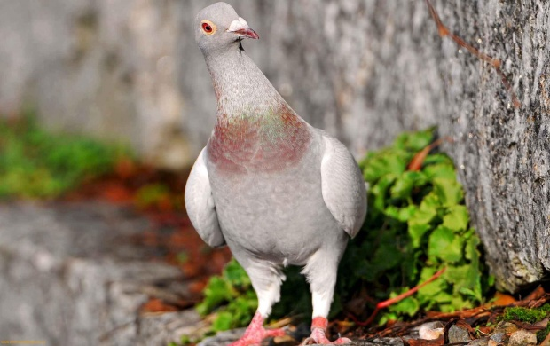 Pigeon (click to view)