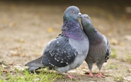 Pigeon Kissing