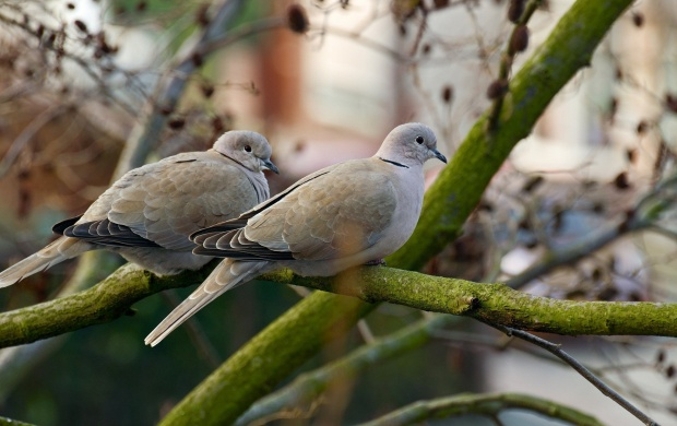 Pigeons On A Branch (click to view)