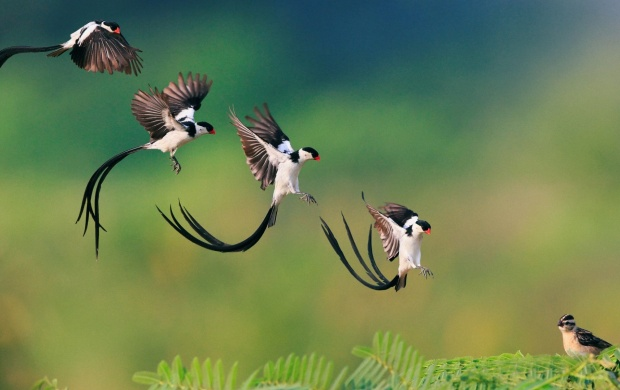 Pin-Tailed Whydah Landing Branch (click to view)