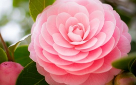 Pink Buds Camellia