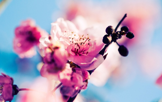 Pink Cherry Flowers (click to view)