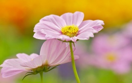 Pink Cosmos Flowers Background