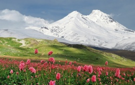 Pink Flowers and Snowy Mountains
