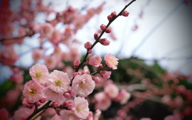 Pink Flowers On Apricot Plant Branch