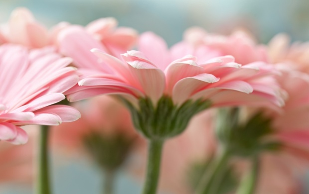 Pink Gerbera Daisy (click to view)