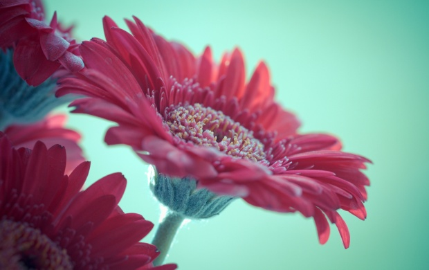 Pink Gerbera Flowers (click to view)