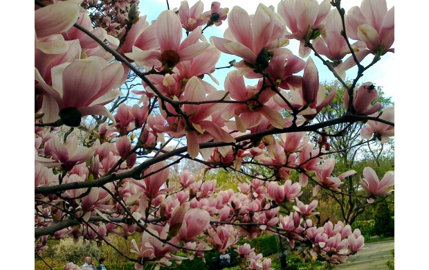 Pink Magnolia Flowers (click to view)