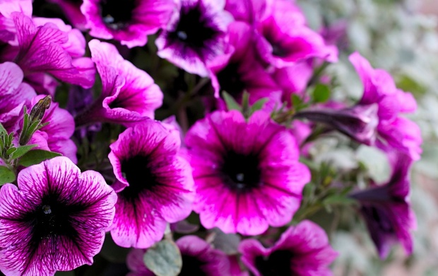 Pink Petunias (click to view)
