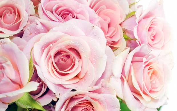 Pink Roses (click to view)