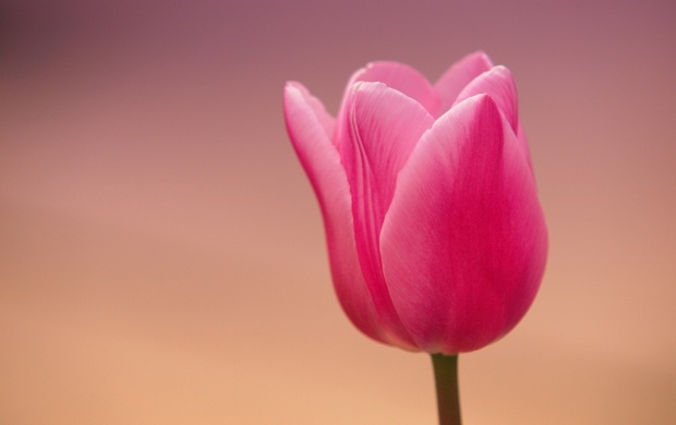 Pink Tulip Closeup (click to view)