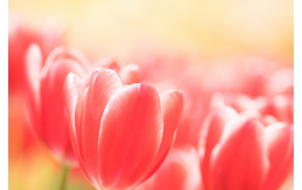 Pink Tulips (click to view)