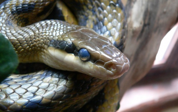 Poisionous Blue Snake (click to view)