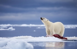 Polar Bear And Meat