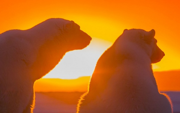 Polar Bears Antarctica Sunset (click to view)