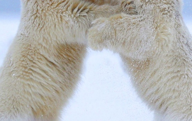 Polar Bears Quarrel (click to view)