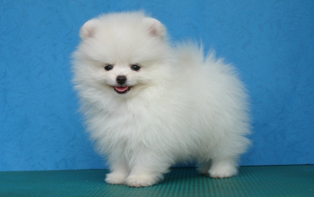 Pomeranian Poze (click to view)