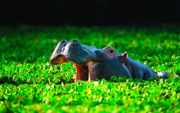 Pond Hippopotamus (click to view)