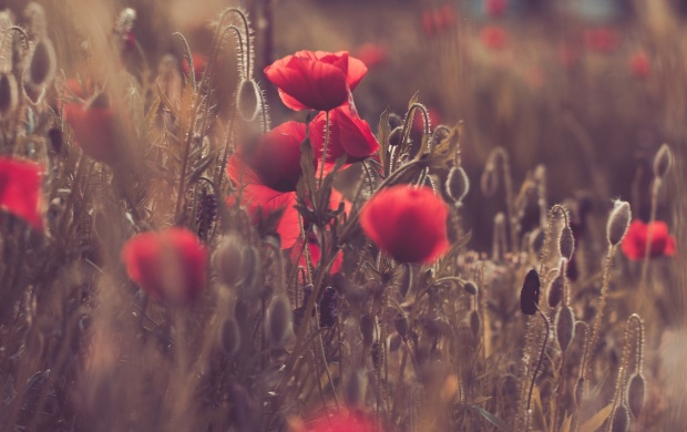 Poppies Field Sunset (click to view)
