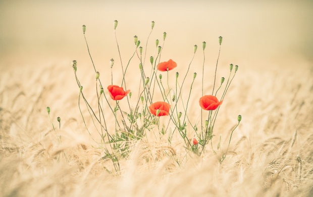 Poppies Flowers And Wheat Field (click to view)
