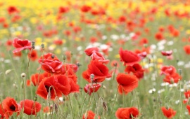 Poppy Flowers Fields